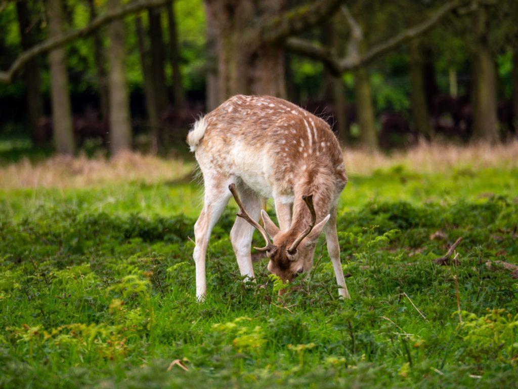 diverse-wildlife-deer